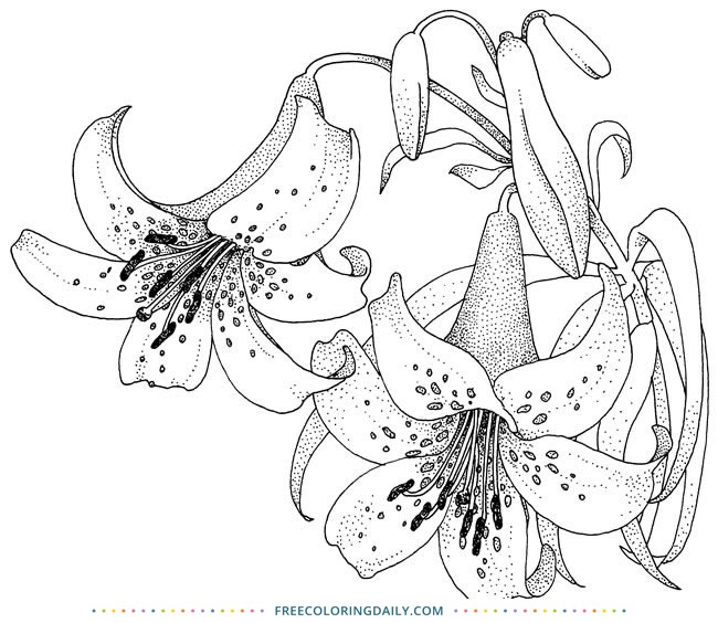 Free Lily Flower Coloring