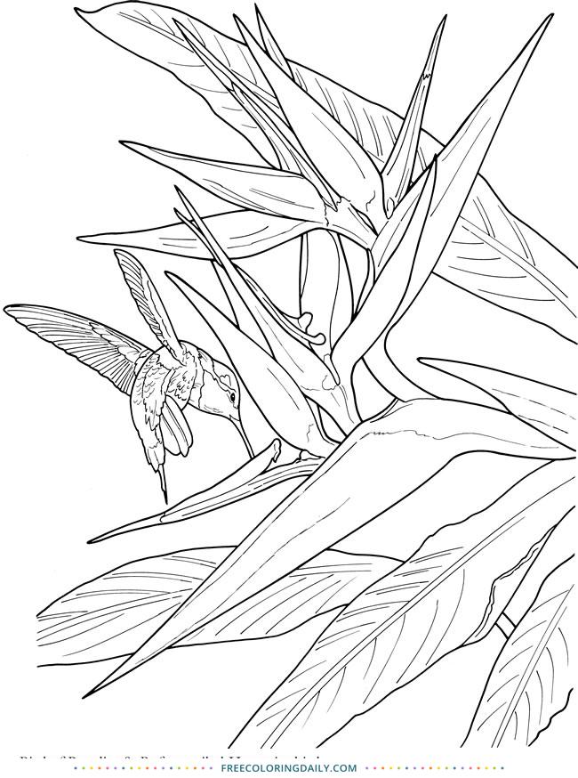 Free Hummingbird Coloring Page